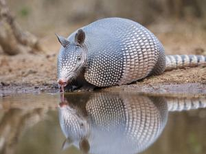 Nine-Banded Armadillo, Texas, USA by Larry Ditto
