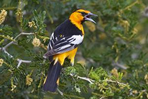 North America, USA, Texas, Starr Co., Bullock's oriole female flushing from pond edge by Larry Ditto