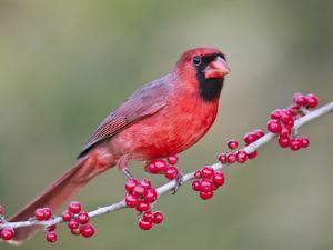 Northen Cardinal Perched on Branch, Texas, USA by Larry Ditto
