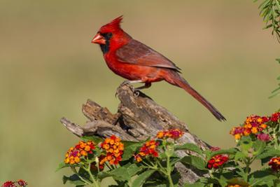 Northern Cardinal (Cardinalis Cardinalis) Male Perched on Log by Larry Ditto