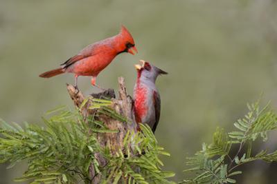 Northern Cardinal defending perch by Larry Ditto