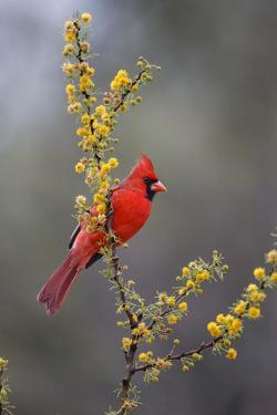 Northern cardinal in habitat. by Larry Ditto