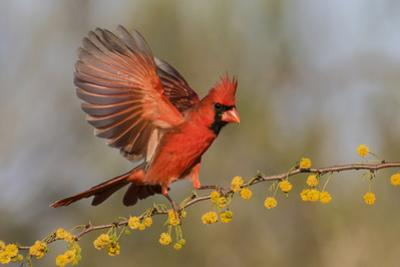 Northern Cardinal male landing on huisache branch by Larry Ditto