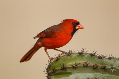 Northern Cardinal male perched on cactus