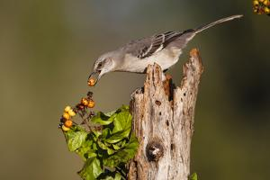 Northern Mockingbird Feeding on Anaqua Berries by Larry Ditto