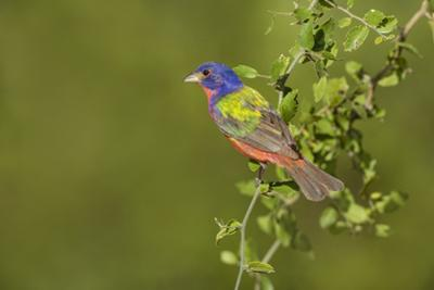 Painted Bunting, Passerina ciris, male perched in bush by Larry Ditto