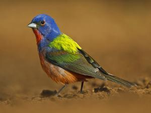 Painted Bunting, Texas, USA by Larry Ditto