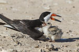 Port Isabel, Texas. Black Skimmers at Nest by Larry Ditto