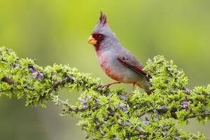 Pyrrhuloxia (Cardinalis sinuatus) male perched by Larry Ditto