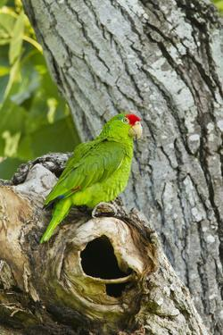 Red-Crowned Parrot (Amazona viridigenalis) adult at nest cavity, Texas, USA. by Larry Ditto
