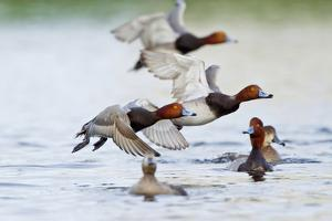 Redhead Duck (Aythya americana) flock flying from freshwater pond near Laguna Madre, Texas. by Larry Ditto