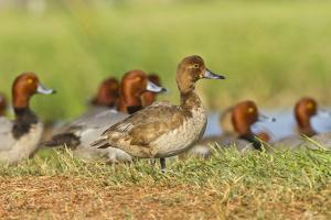 Redhead Duck (Aythya americana) flock resting by freshwater pond near Laguna Madre, Texas. by Larry Ditto