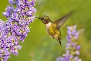 Ruby-Throated Hummingbird (Archilochus Colubris) Male Feeding by Larry Ditto