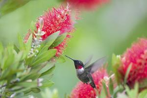 Ruby-throated hummingbird (Archilochus colubris) male feeding. by Larry Ditto