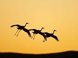 Sandhill Crane in Flight , New Mexico, USA by Larry Ditto