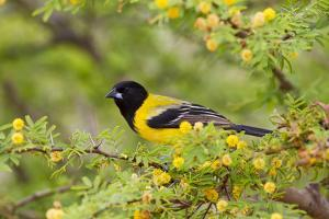 Santa Clara Ranch, Starr County, Texas. Audubon's Oriole (Icterus graduacauda) perched by Larry Ditto