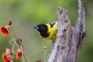 Santa Clara Ranch, Starr County, Texas. Audubons Oriole Perched by Larry Ditto