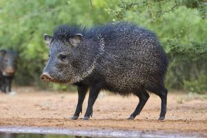 Starr County, Texas. Collared Peccary in Thorn Brush Habitat by Larry Ditto
