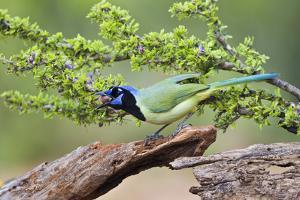 Starr County, Texas. Green Jay, Cyanocorax Yncas, Eating Acorn by Larry Ditto