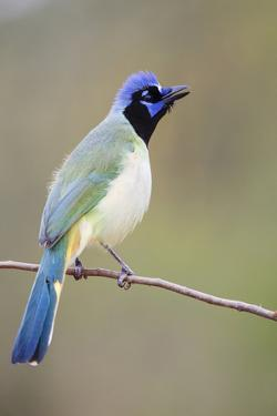 Starr County, Texas. Green Jay Threat Display to Other Jays by Larry Ditto