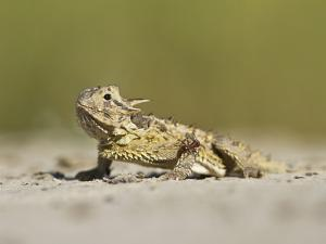 Texas Horned Lizard, Texas, USA by Larry Ditto