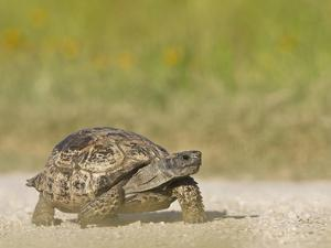 Texas Tortoise, Texas, USA by Larry Ditto
