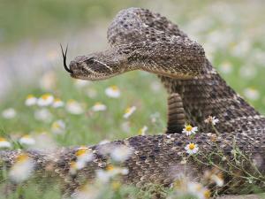 Western Diamondback Rattlesnake, Texas, USA by Larry Ditto