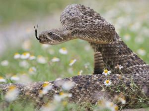 Western Diamondback Rattlesnake, Texas, USA by Larry Ditto