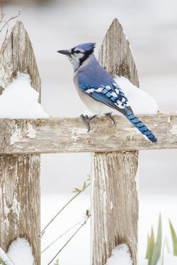 Wichita County, Texas. Blue Jay, Cyanocitta Cristata, Feeding in Snow by Larry Ditto