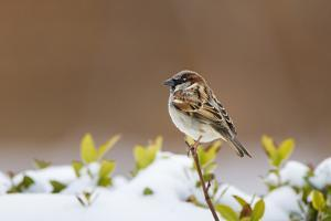 Wichita County, Texas. House Sparrow after Winter Snow by Larry Ditto