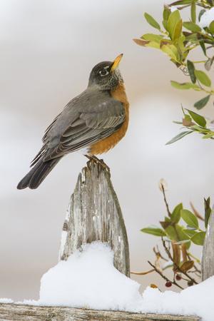 Wichita Falls, Texas. American Robin Searching for Berries