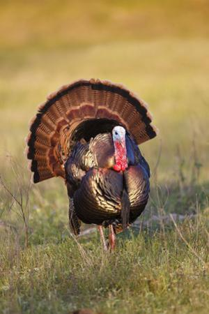 Wild Turkey (Meleagris Gallopavo) Males Strutting by Larry Ditto