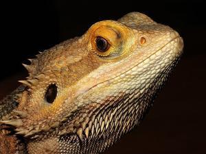 Bearded Dragon by Larry Jernigan