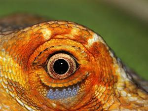 Close-up of Bearded Dragon by Larry Jernigan