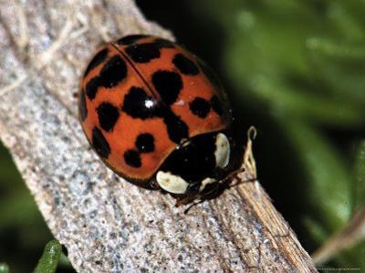 Lady Bug, Coccinellidae