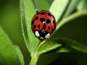 Nine Spotted Lady Bug Beetle by Larry Jernigan