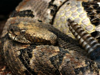Timber Rattle Snake, Crotalus Horidus