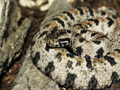 Western Pigmy Rattlesnake, Sistrurus Miliarius