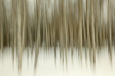 Birch Blur II by Larry Malvin