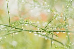 Closeup of Stalks on Organic Asparagus Plant by Lars Hallstrom