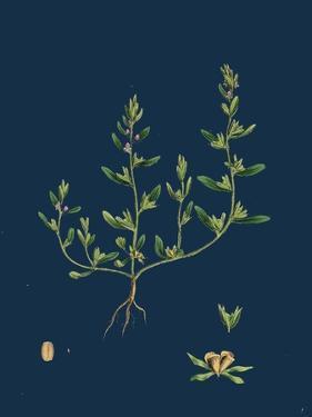 Lathaea Squamaria; Toothwort