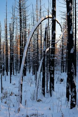 Burned Trunk Bending to Earth by Latitude 59 LLP