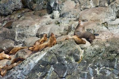 Sea Lions on Rock by Latitude 59 LLP
