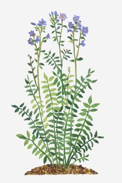 Illustration of Polemonium Caeruleum (Jacob's Ladder, Greek Valerian) Bearing Lavender Flowers on T by Laura Andrew