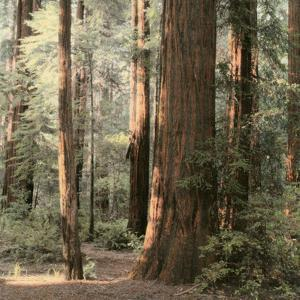 Redwoods 2 by Laura Culver