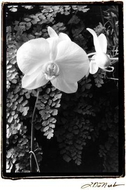 Striking Orchids I by Laura Denardo
