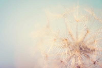 Dandelion Dreams by Laura Evans