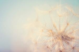 Dandelion Dreams by Laura Evans