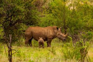 African Rhino and Baby, Kruger National Park, Johannesburg, South Africa, Africa by Laura Grier