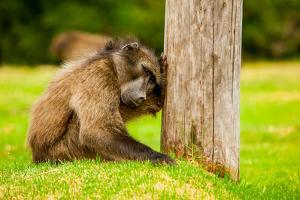 Baboon Resting, Johannesburg, South Africa, Africa by Laura Grier